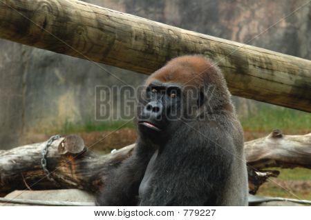 Gorilla Scowling