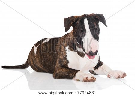 brindle bull terrier puppy