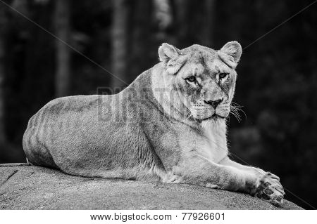 A lioness laying on a rock looking into the camera