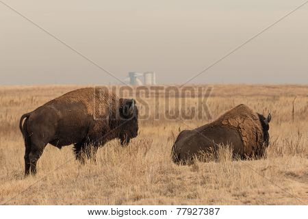Pair of Bull Bison