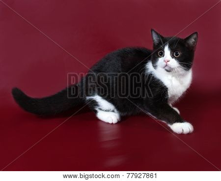 Black And White Cat Scottish Fold Stands On Burgundy