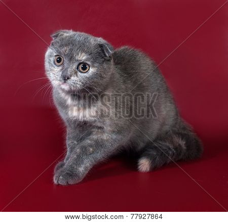 Gray And Red-haired Scottish Fold Cat Sitting On Burgundy