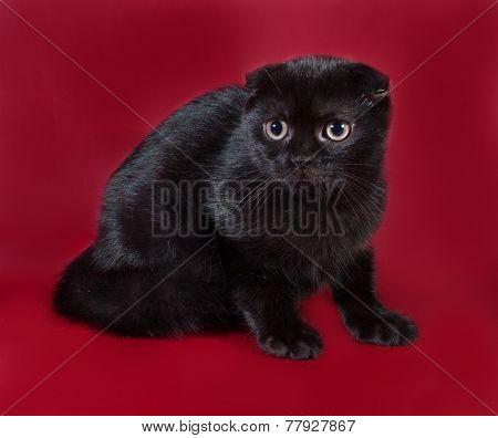 Black Scottish Fold Cat Sitting On Burgundy