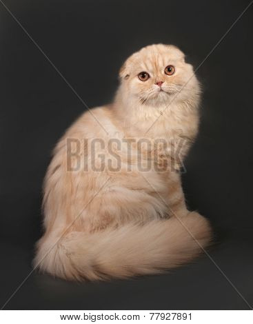 Striped Red Fluffy Cat Scottish Fold Sitting On Gray