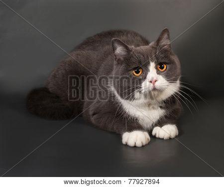 Gray And White Cat Scottish Fold Lies On Gray