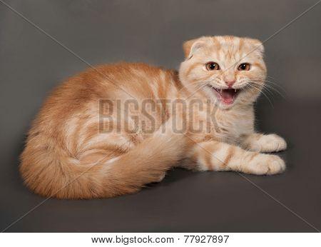 Ginger Tabby Cat Scottish Fold Lies On Gray