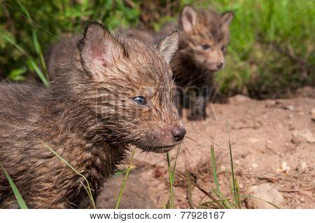 Red Fox (vulpes Vulpes) Kits Look Intensely Right