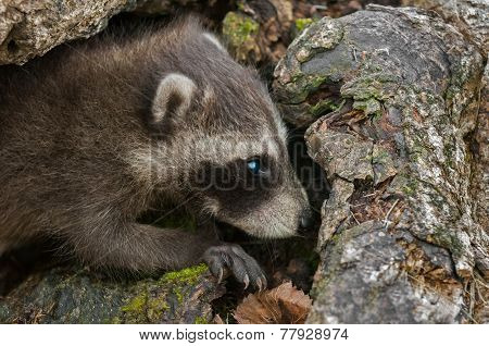 Baby Raccoon (procyon Lotor) With Copy Space Right