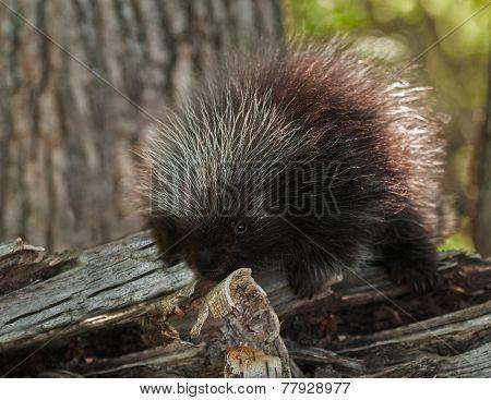 Porcupette (erethizon Dorsatum) Investigates Birch Curl