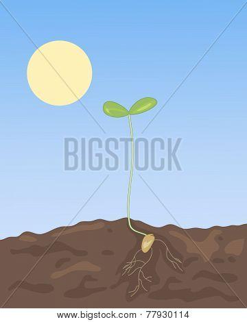 Spring Seedling