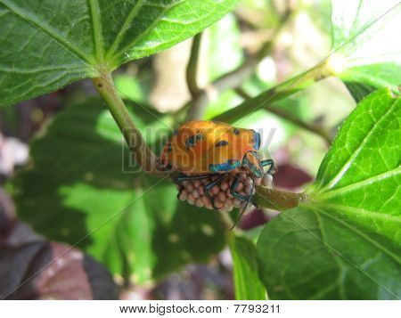Harlequin Beetle Sitting on Eggs.