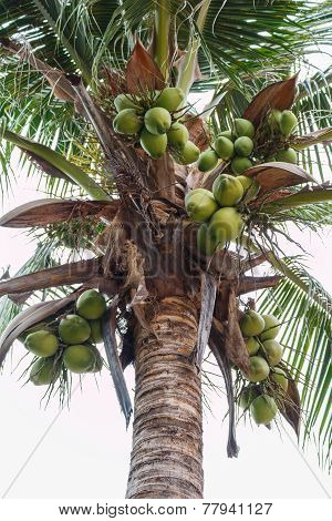 Sweet Coconut tree on white sky background