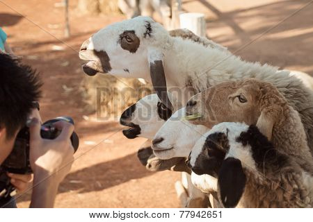 Sheep, Looking And Smiling With Photographer