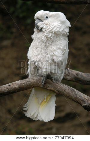 Sulphur-crested cockatoo (Cacatua galerita).
