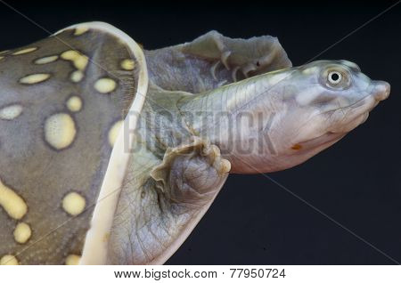 Indian flapshell turtle / Lissemys punctata