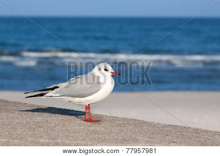 Stock Photo Of A Seagull.