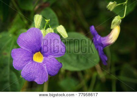 Achimenes Blue Flowers