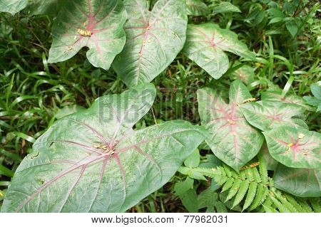 Fresh Green Leaves With Red Veins