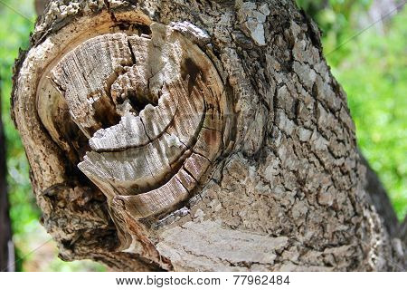 Old Tree With Large Branch To Bark