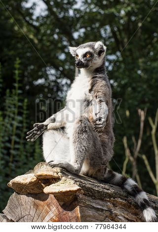 One Ring-tailed Lemur (lemur Catta) Is Heated