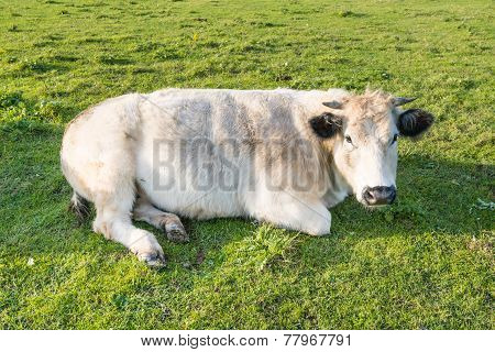 Ruminating Cow Lying In Grass