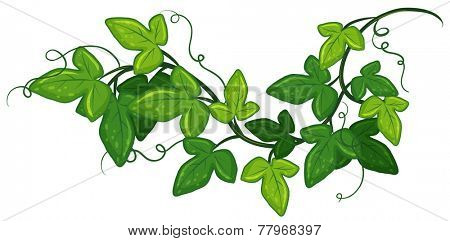 Illustration of a close up ivy