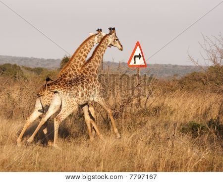 Two Giraffes With Right Turn Arrow