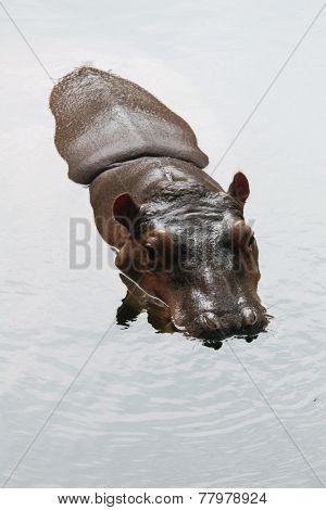 Hippopotamus (Hippopotamus amphibius).