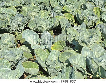 Bed With Cabbage. Growing Vegetables In Garden