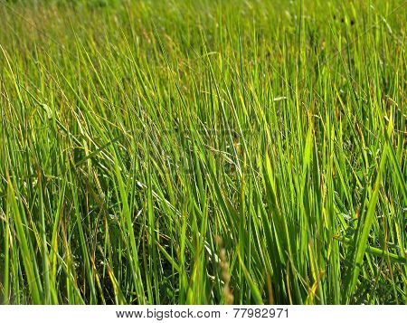 High Green Grass. Sedge