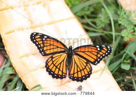 monarch on melon