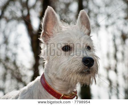 White West Higland Terrier Dog