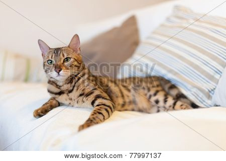 Young bengal cat lying on couch
