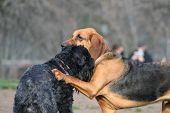 foto of bloodhound  - Bloodhound and Black Russian Terrier dogs playing - JPG