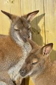 image of wallabies  - wallaby mother and baby with wood in background - JPG