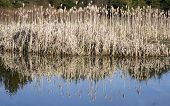 stock photo of bull rushes  - Small pond with bull rushes reflecting in the still water