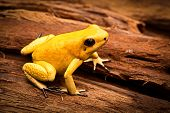image of poison dart frogs  - poisonous frog - JPG
