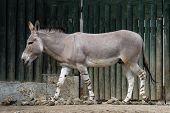 image of horses ass  - Somali wild ass  - JPG