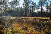 picture of hazy  - Forest with pine trees dewy yellowed grass and the first sunrays in the hazy morning mist. It