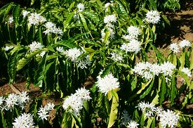 picture of dong  - Coffee tree with white coffee flower on cafe plantation cafe is main plant at basalt soil like Bao Loc Lam Dong Viet Nam and coffee is Vietnam agriculture product to export - JPG