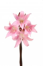 picture of belladonna  - Amaryllis Belladonna flowers isolated against a white background  - JPG