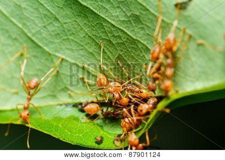Red Ants Teamwork