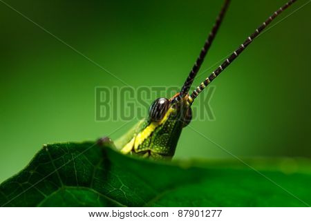 Green Grasshopper On Grass Leaf
