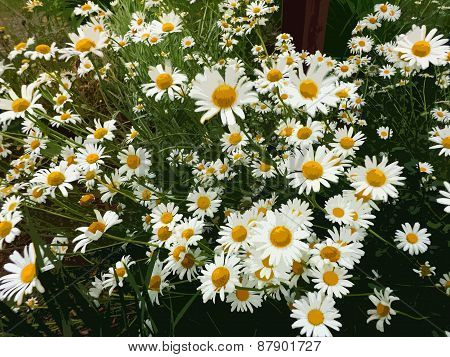 Cutout Group of Daisies