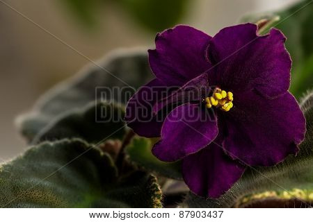 Dark Purple Flower Violet