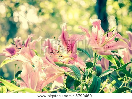 Sweet pink lilly flower in vintage background with bokeh