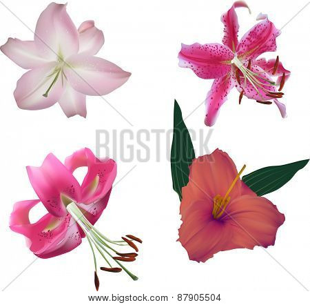 illustration with four lily flowers isolated on white background