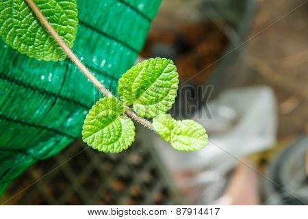 Mint Leaves Texture