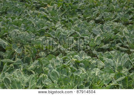 Green leaf mustard for healthy
