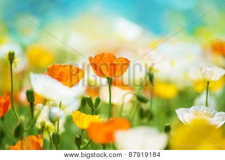 Poppy flower field in bright sunlight. Intentionally shot and processed in dreamy color.